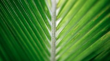 coconut-leaf-2212623_1920